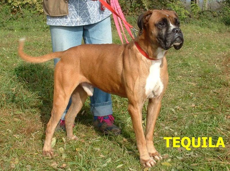 Adotta un bull tequila incrocio boxer maschio a torino for Razza del cane di tequila e bonetti