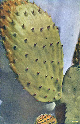 Spineless Cactus - Vestigial Leaves