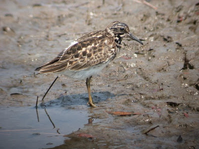 Least Sandpiper, post-bathing