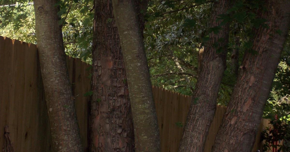 In the garden multi trunked trees for Trees garden of jane delawney blogspot