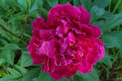 In the Garden: Bloom Day-May 09