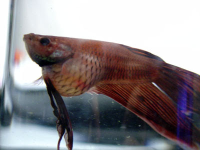 Bloated Betta Fish