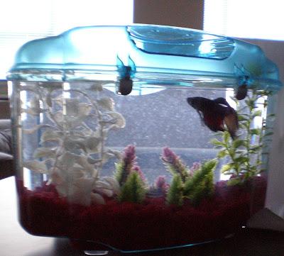 Yucky Floating Debris In Betta Tank Fish Care