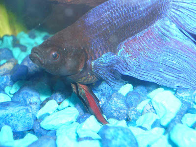 Dropsy ruling out constipation fish care for Epsom salt for fish