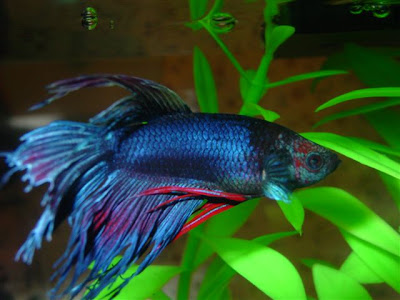 Betta Changes Color Fish Care