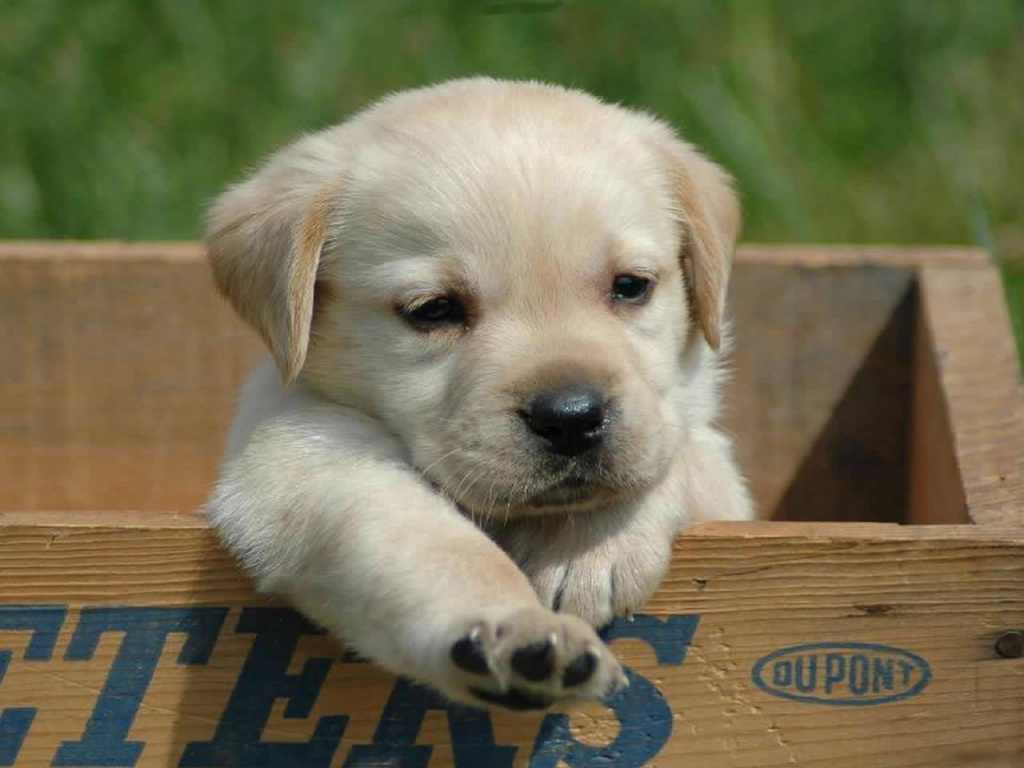 cute dogs dog puppy baby puppies cutest labrador adorable doggy lab really pup pups на ever why