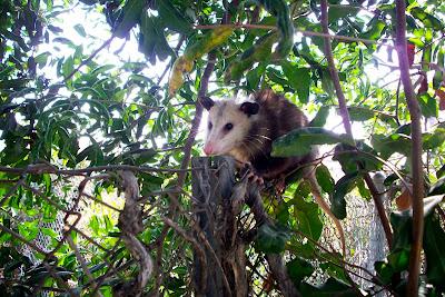 Leisure World Laguna Woods >> All City Animal Trapping: baby opossums baby possum possum with babies opossum with babies call ...