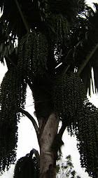 Pohon Aren penuh buah kolang-kaling