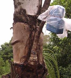 Jerigen plastik untuk menampung nira dari pohon Aren