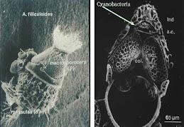 Cyanobacteria pada Azolla