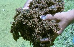 Azolla microphylla kering