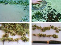 Azolla tanaman air yang mungil tapi manfaatnya yang besar