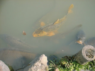 Pescuit Crapi la Matsushiro