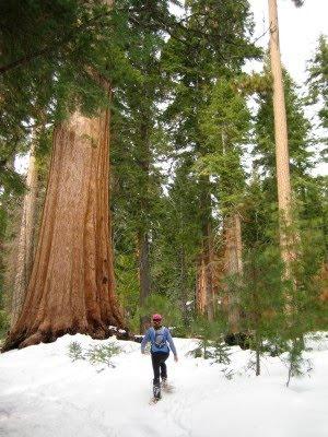 Sequoias snowshoe
