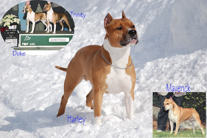 WHIRLWIND KENNELS                        Champion American Staffordshire Terriers