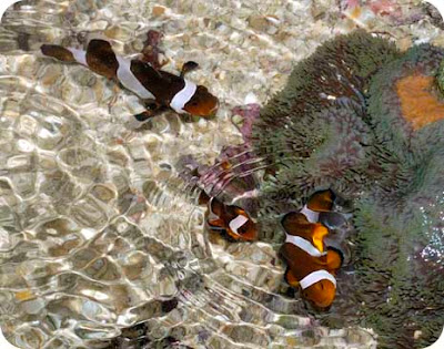 False clown anemonefishes (better known as Nemo) are still commonly seen on our reefs!