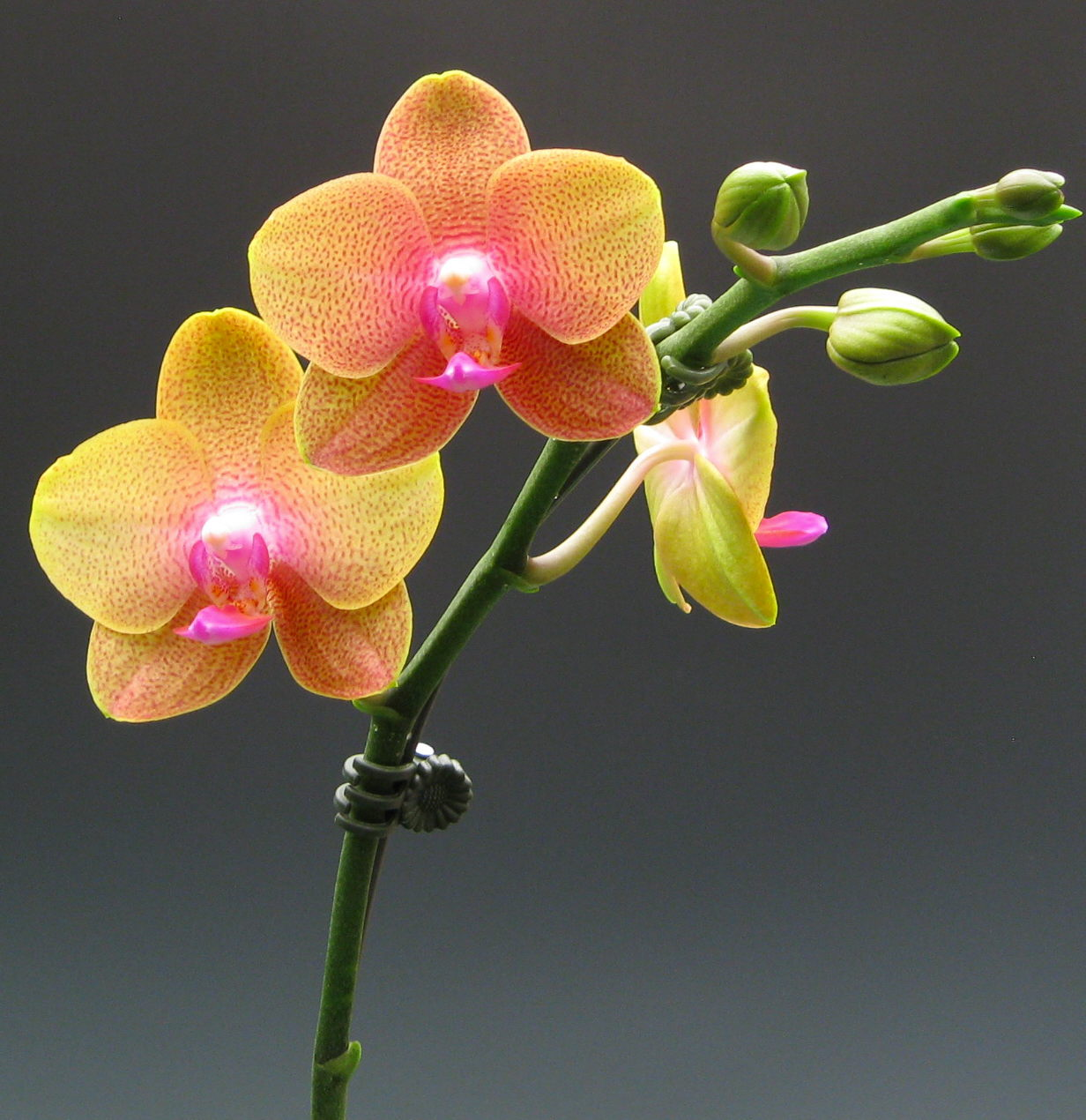 What Is The Hottest Color Miniature Moth Orchids Orchidaceous Orchid Blog