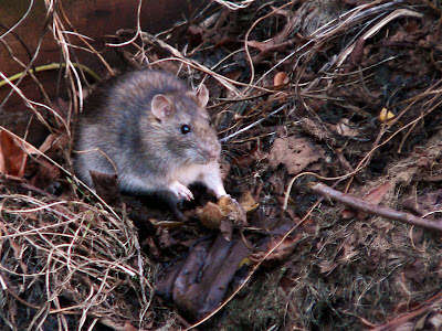 how to clear a compost heap of rats