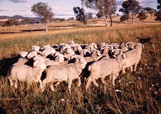 Woolshed 1 Sheep Breeds In New Zealand