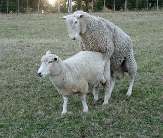 woolshed 1 sheep farm husbandry  reproduction the ewe