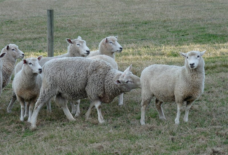 Woolshed 1: Animal behaviour and welfare: Sheep Part 2