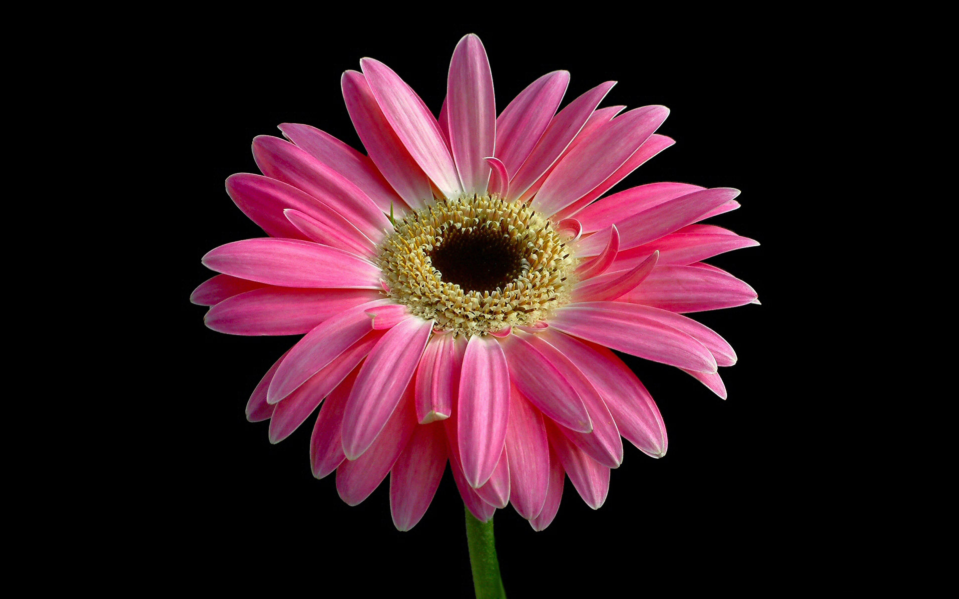 Pink Flower Wallpaper