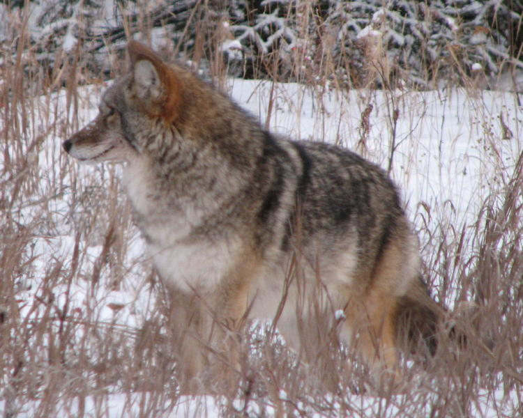 Andrews: Coyote is shapeshifter, illuminator and uses pranks to teach ...