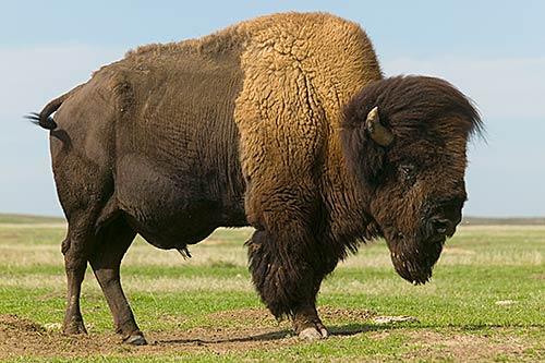 bison - photo #23