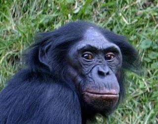 Bonobos Video