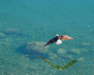 Eagle Looking for Fish Orcas Island Washington USA