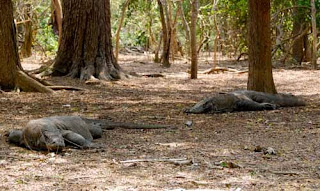 Komodo Dragons Island Indonesia