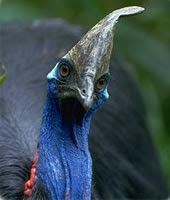 SOUTHERN CASSOWARY ...