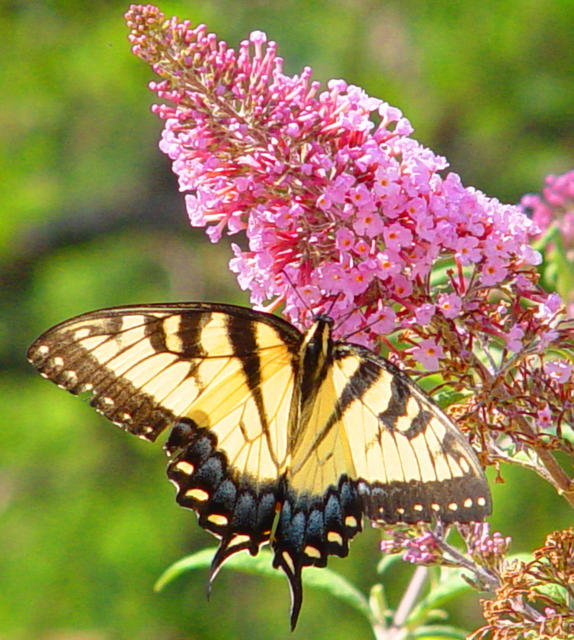 Home And Gardening Butterfly Bush