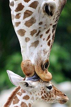 [girafa-794342.jpg]