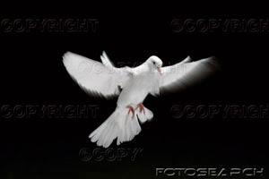Chi spera nel signore mette ali come di colomba...