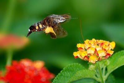 Getvmaster- 收集熱門新聞資訊: 蜂鳥天蝦 長喙天蛾