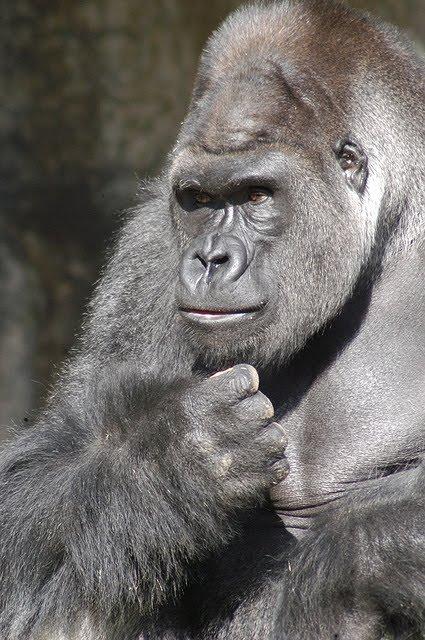 smart_gorilla.JPG
