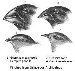 Tentilhões das Ilhas Galápagos, arquipélago que ficou famosos após a visita de Charles Darwin em sua viagem, a bordo do Beagle. Muitos bicos indicando tipos diferentes? Sim. Informações genéticas, portanto, diferentes? Sim! Observe, contudo, que se trata da mesma informação genética com variações distintas, o que não endossa a teoria da evolução, nos seus moldes teóricos - baseados na seleção natural. É exatamente isso o que se vê na foto: seleção natural!