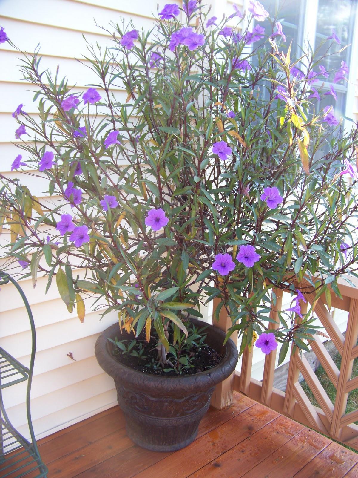 Twice As Nice Purple Flowering Tree