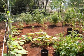 plants_greenhouse_garden_bhut jolokia_tips