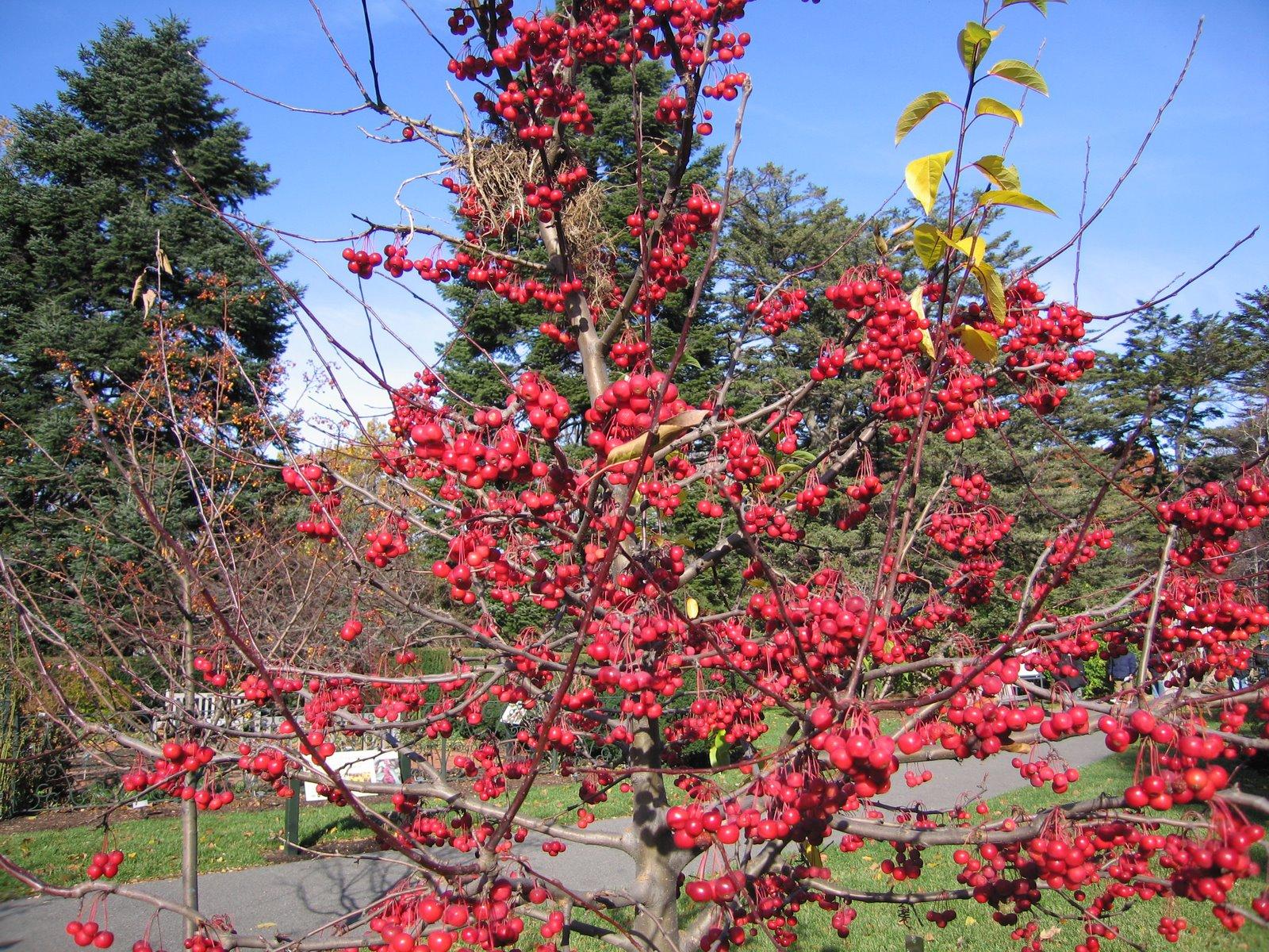Sugar Tyme Flowering Crabapple Scientific Name