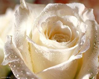 http://bp0.blogger.com/_Wkf5FYDt60s/R69f7zCYnzI/AAAAAAAAAQM/vi8g2trQS1Y/s320/rosa+blanca.jpg