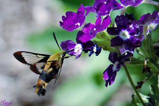 Pure Luck - Hummingbird Moth