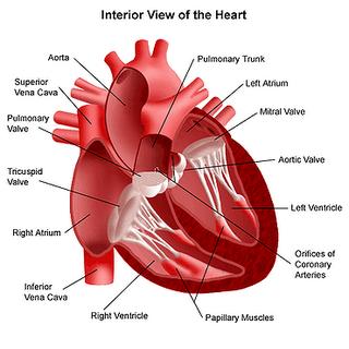Gambar Skripsi Contoh Penulisan Daftar Gambar Skripsi Yang Baik Dan Gambar Jantung Manusia High Size Contoh Artikel Makalah Judul