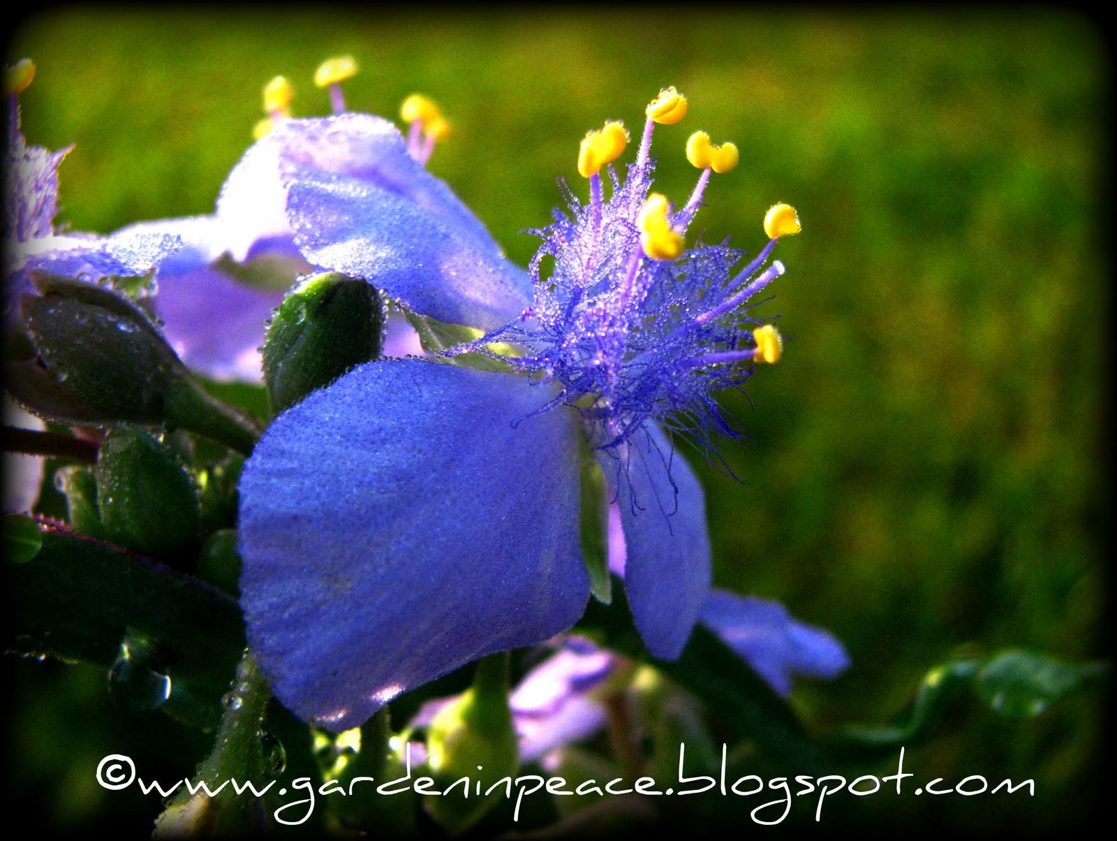 planting-spiderwort-blue-stone-roots html in ysazyxu github