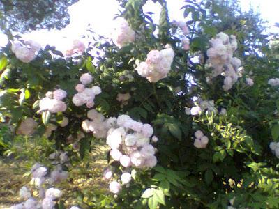 Rosa Multiflora, rose, rosaio, Laure Davoust