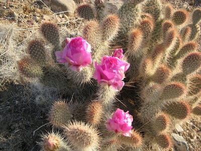Photo of cactus blossoms by Roland Lee