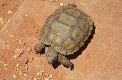 Photo of Desert Tortoise in the Red Hills Desert Reserve near St. George Utah
