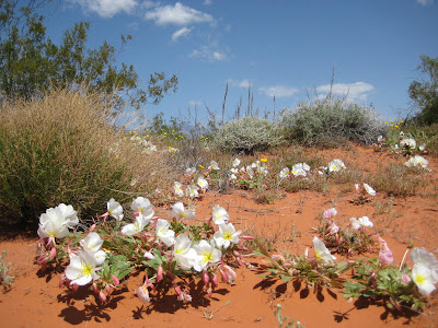 Photo of wildflowers in Red Hills Desert Reserve by roland Lee