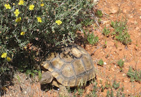 Photo of desert tortoise in Utah Red Cliffs Desert Reserve